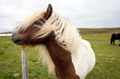 Icelandic Pony on Grimsey