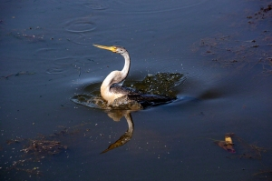Darter on Yellow Waters