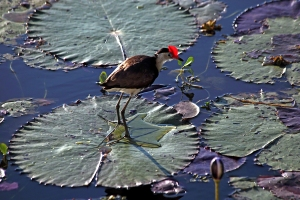 Jacana on Lily Pads
