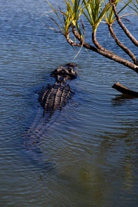 Kakadu Saltie Swimming