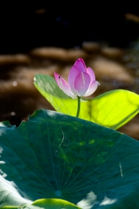Lotus Lily Kakadu